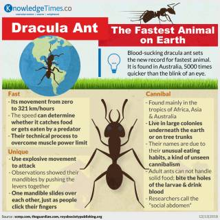 Dracula Ant, The Fastest Animal on Earth