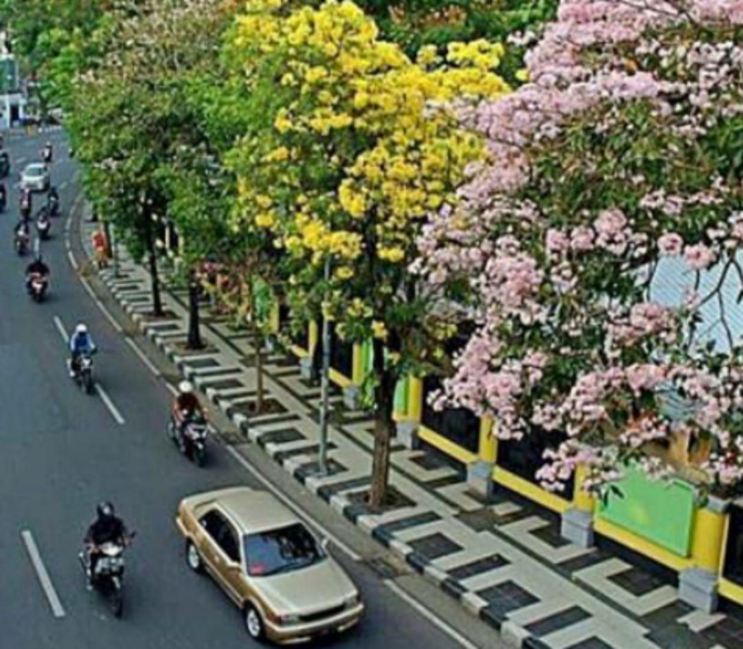 Jalan Dipenuhi Bunga Mirip Sakura, Surabaya Jadi Rasa Jepang