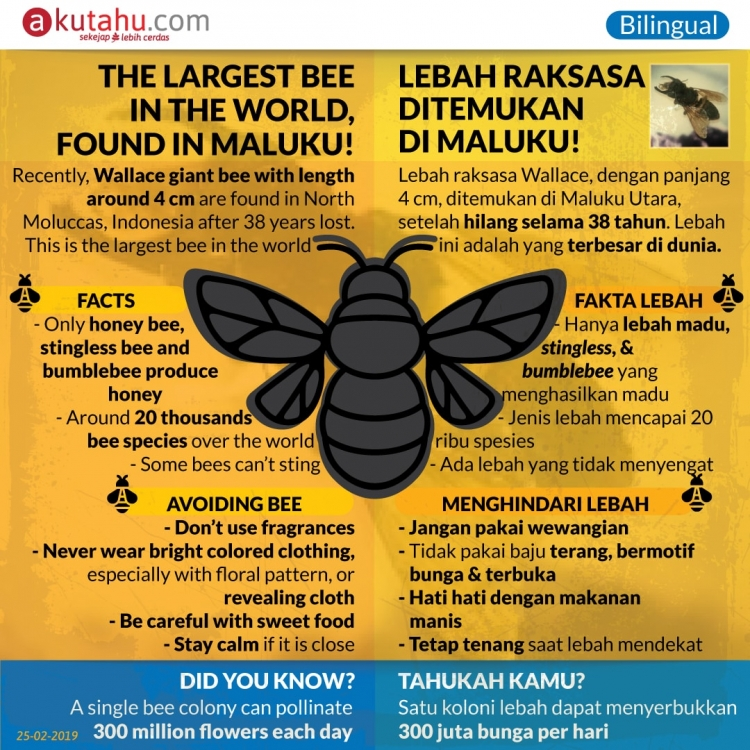 The Largest Bee in the World, Found in Maluku!